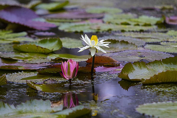 Water Lilly Print featuring the photograph Water Lillies9 by Charles Warren