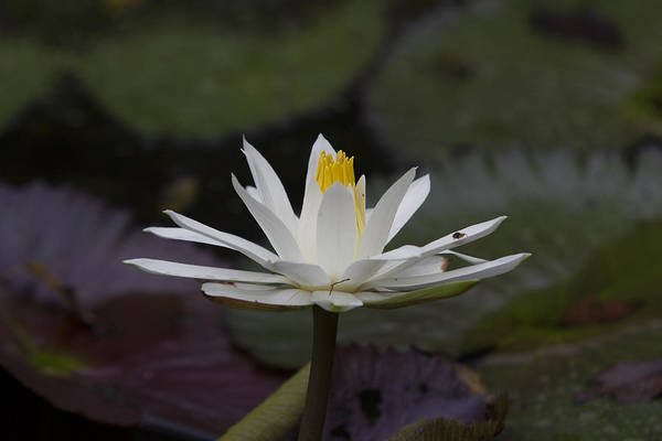 Water Lilly Print featuring the photograph Water Lilly7 by Charles Warren