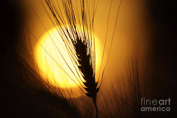 Sunset Print featuring the photograph Wheat At Sunset by Tim Gainey
