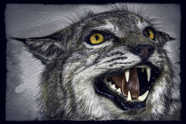 Wildcat Print featuring the photograph Wildcat Ferocity by Daniel Hagerman