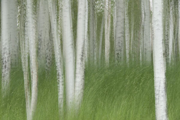 Colorado Print featuring the photograph Wind In The Aspen by Nancy Myer