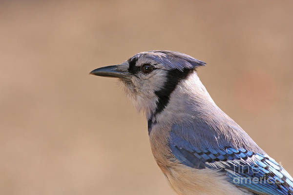 Blue Jay Print featuring the pyrography Blue Jay Posing by David Cutts