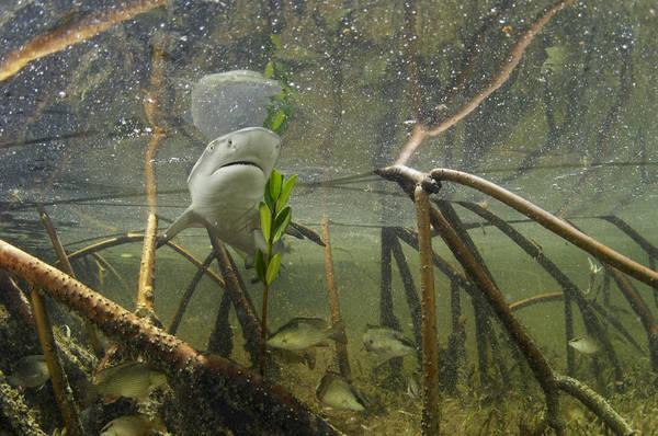 Atlantic Ocean Print featuring the photograph A Lemon Shark Pup Swims Among Mangrove by Brian J. Skerry