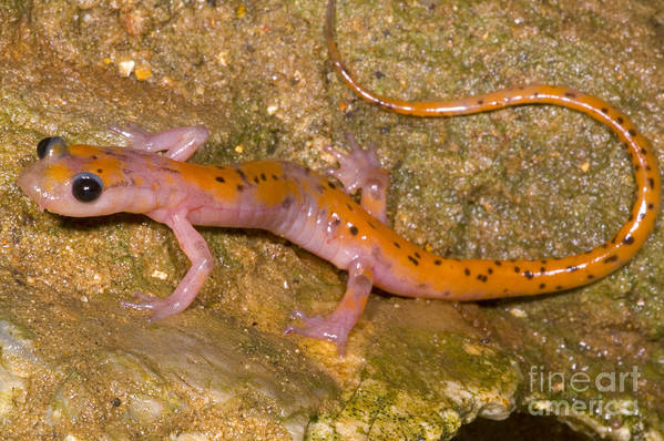 Eurycea Lucifuga Print featuring the photograph Cave Salamander by Dante Fenolio