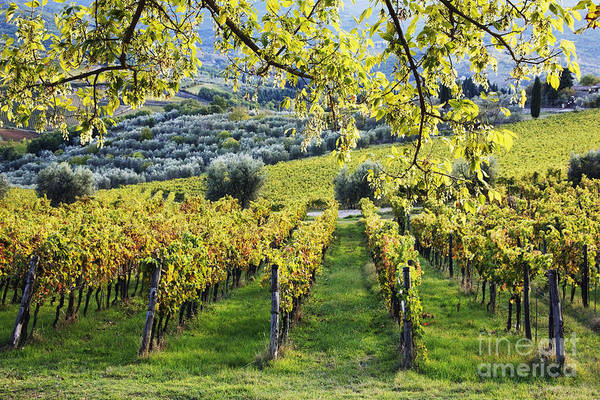 Agriculture Print featuring the photograph Vineyards And Olive Groves by Jeremy Woodhouse