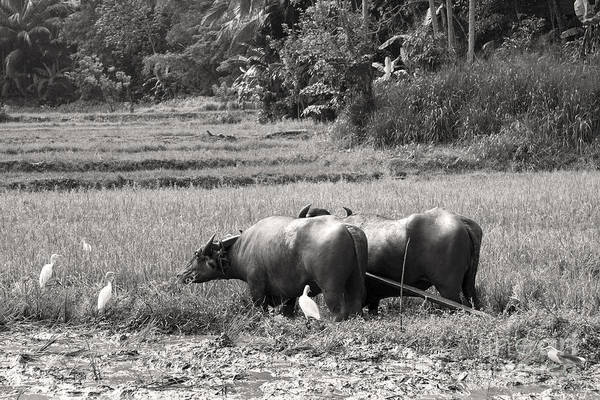 Agriculture Print featuring the photograph Water Buffalo by Jane Rix