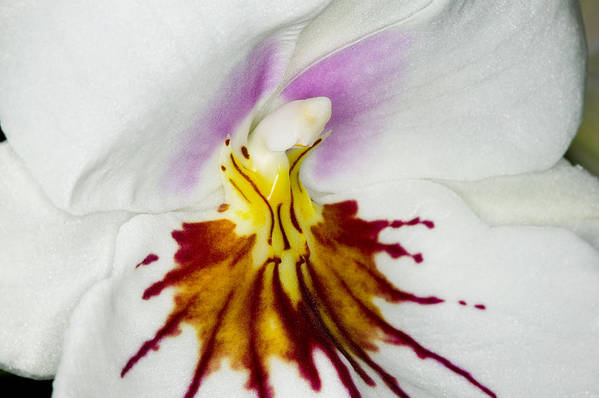 Orchid Print featuring the photograph Exotic Orchids Of C Ribet by C Ribet