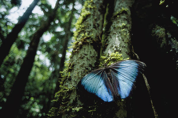 South America Print featuring the photograph A Blue Morpho Butterfly by Joel Sartore