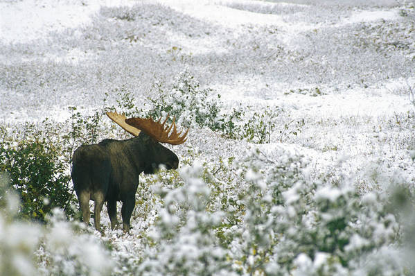 North America Print featuring the photograph A Bull Moose On A Snow Covered Hillside by Rich Reid
