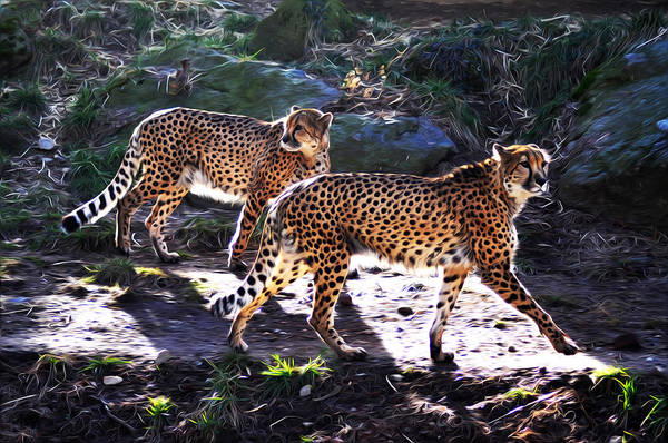 A Pair Of Cheetah's Print featuring the photograph A Pair Of Cheetah's by Bill Cannon