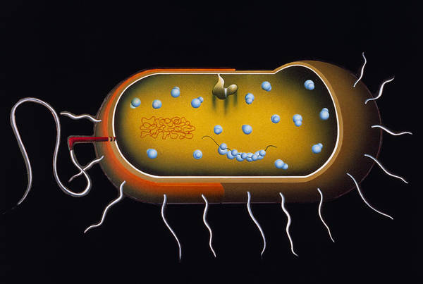 Microbiology Print featuring the photograph Artwork Of Structure Of A Bacterium by Francis Leroy, Biocosmos