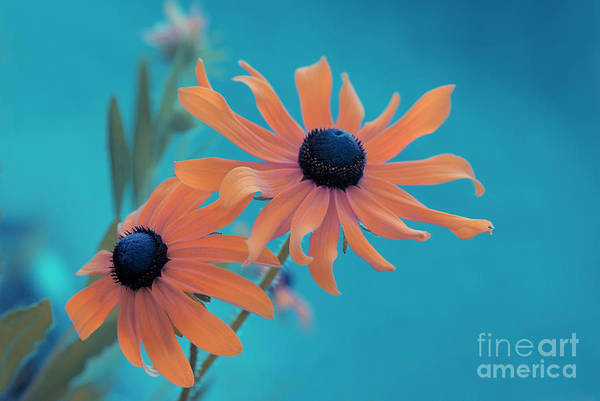 black Eyed Susan Print featuring the photograph Attachement - S02cz by Variance Collections