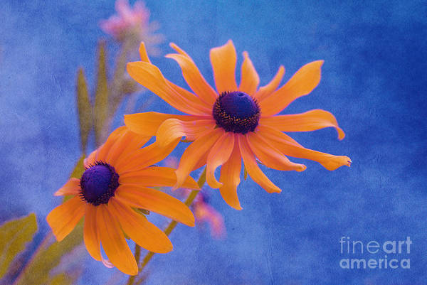 black Eyed Susan Print featuring the photograph Attachement - S11at01d by Variance Collections