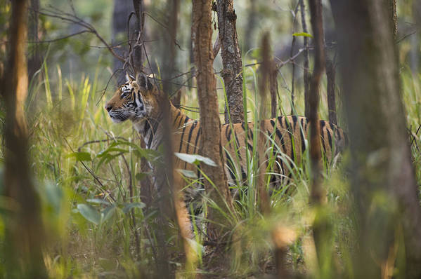 Horizontal Print featuring the photograph Bengal Tiger 17-month Old by Richard Packwood