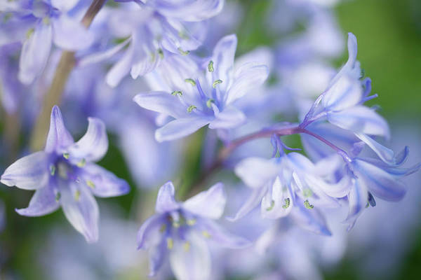 Horizontal Print featuring the photograph Bluebells by Nick Dolding