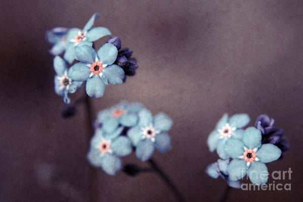 Brown Print featuring the photograph Forget Me Not 01 - S05dt01 by Variance Collections