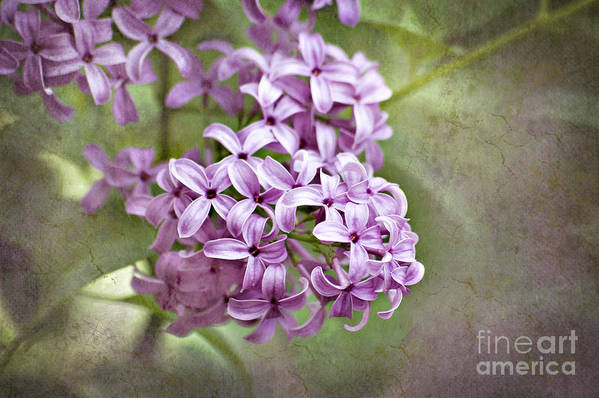 Lilac Print featuring the photograph Fragrant Purple Lilac by Cheryl Davis