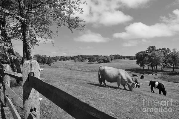 Cattle Print featuring the photograph Grazing The Day Away by Catherine Reusch Daley