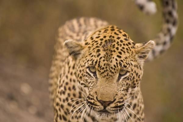 Arathusa Safari Lodge Print featuring the photograph Leopard Panthera Pardus, Arathusa by Stuart Westmorland