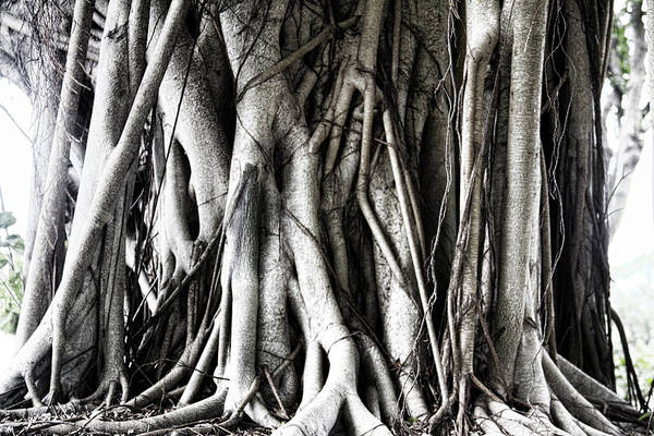 Mangrove Print featuring the photograph Mangrove Tentacles by Douglas Barnard