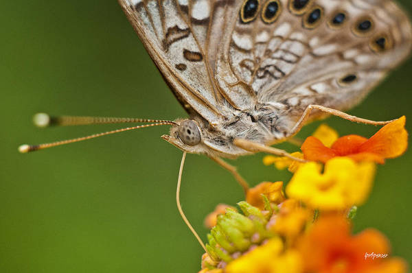 Nature Print featuring the photograph Moth On Flower Clusters by Lisa Spencer