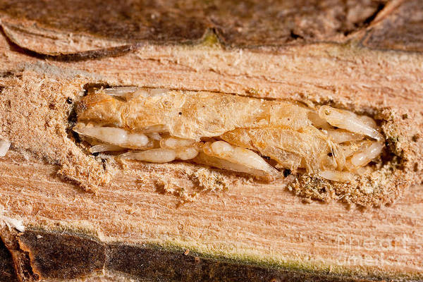 Animal Print featuring the photograph Parasitized Ash Borer Larva by Science Source