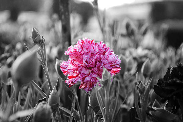 Pink Carnation Print featuring the photograph Pink Carnation by Sumit Mehndiratta