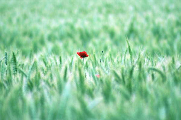 Horizontal Print featuring the photograph Poppy In Wheat Field by By Julie Mcinnes