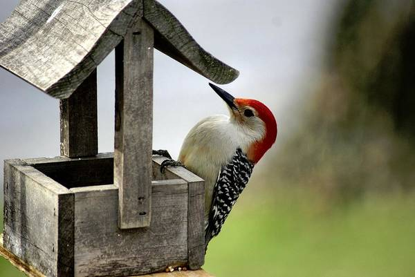 Red Bellied Woodpecker Print featuring the photograph Red Bellied Woodpecker by L Granville Laird