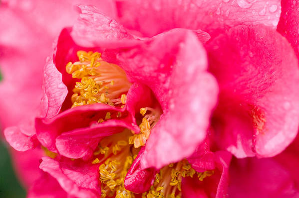 Camellia Print featuring the photograph Shy Camellia by Rich Franco