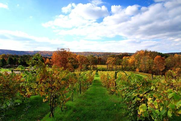 Autumn Print featuring the photograph Six Miles Creek Vineyard by Paul Ge