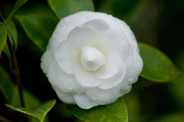 Camellia Print featuring the photograph White Camellia by Rich Franco
