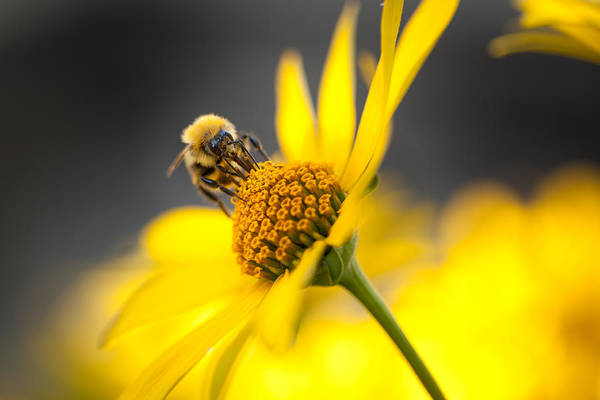 Bee Print featuring the photograph Working Bee by Pavlo Kolotenko