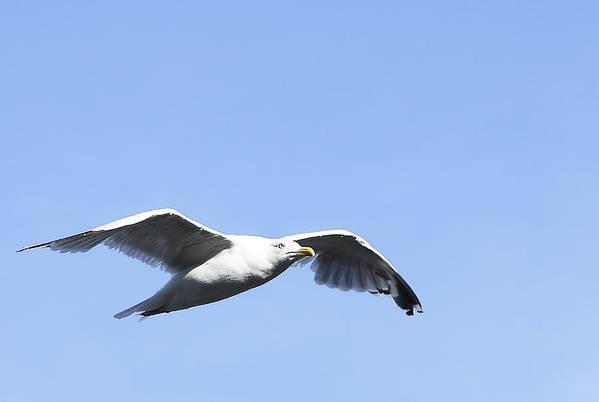 Bird Print featuring the photograph Seagull by Svetlana Sewell