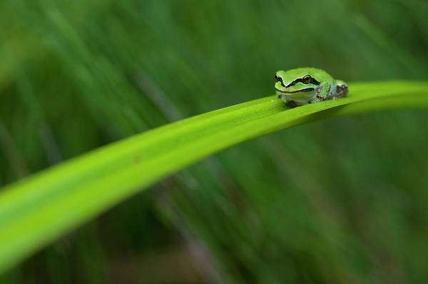 Pacific Print featuring the photograph Pacific Tree Frog by Alasdair Turner