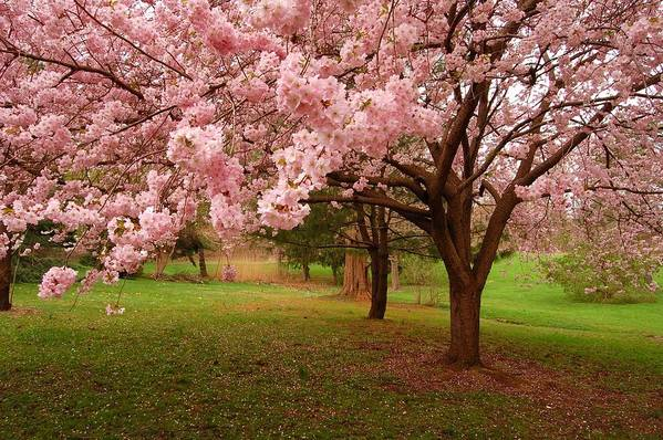 Cherry Blossom Print featuring the photograph Approach Me - Holmdel Park by Angie Tirado