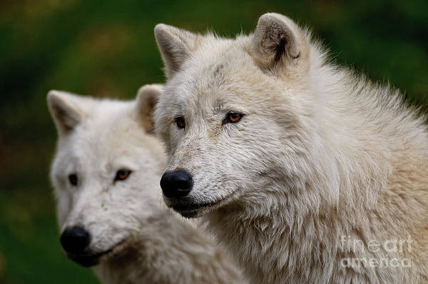 Michael Cummings Print featuring the photograph Arctic Wolf Pair by Michael Cummings
