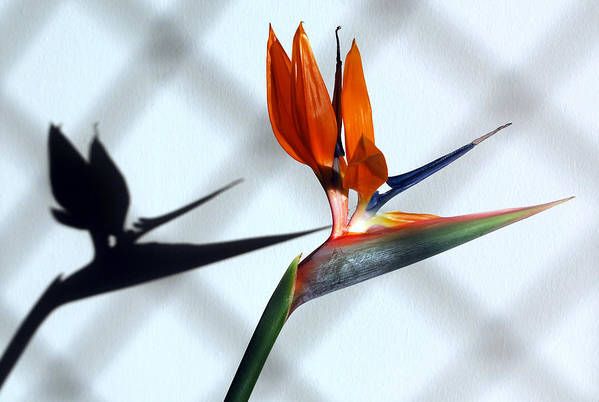 Bird Of Paradise Flower.crane Flower Print featuring the photograph Beauty And The Shadow by Terence Davis