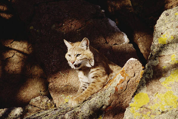 Mp Print featuring the photograph Bobcat Lynx Rufus Portrait On Rock by Gerry Ellis