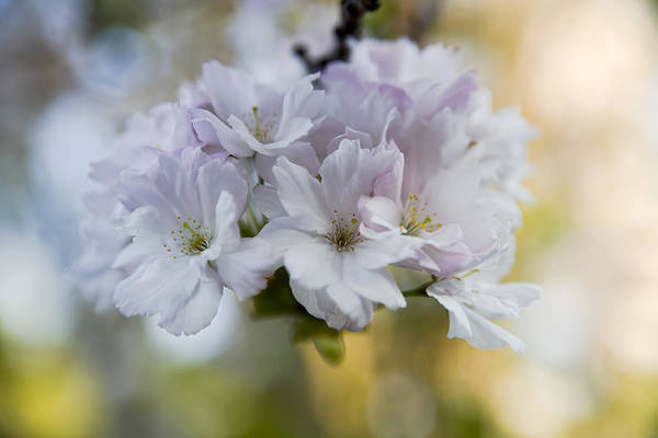 Cherry Blossoms Print featuring the photograph Cherry Blossoms by Frank Tschakert