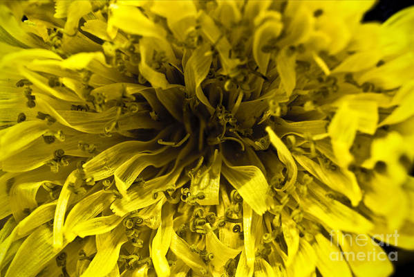 ryankellyphotography@gmail.com Print featuring the photograph Dandelion by Ryan Kelly