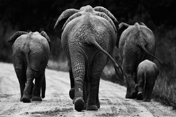Africa Print featuring the photograph Elephants In Black And White by Johan Elzenga