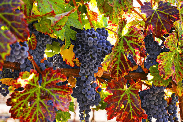 Grapes Print featuring the photograph Grapes On Vine In Vineyards by Garry Gay