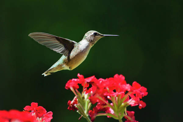Hummingbird Print featuring the photograph Hovering Hummingbird by Christina Rollo