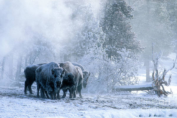 Yellowstone Print featuring the photograph Huddled For Warmth by Sandra Bronstein