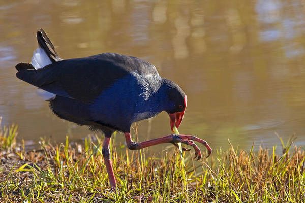 Purple Print featuring the photograph March Of The Swamphen by Mike Dawson