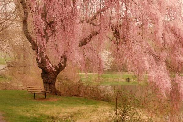 Cherry Blossom Print featuring the photograph Memories - Holmdel Park by Angie Tirado