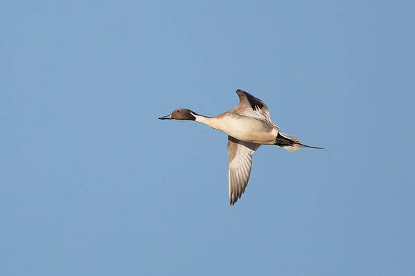 Pintails in flight