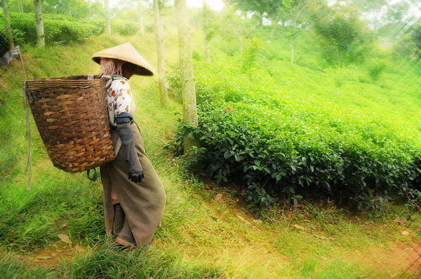 Agriculture Print featuring the photograph One Day In Tea Plantation by Charuhas Images
