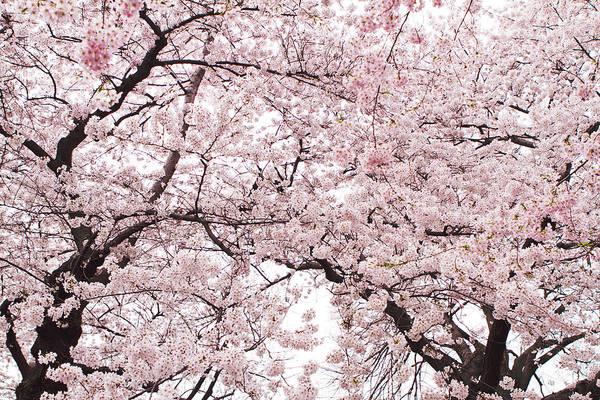 Cherry Blossom Print featuring the photograph Pink Cherry Blossom Tree by Ariane Moshayedi